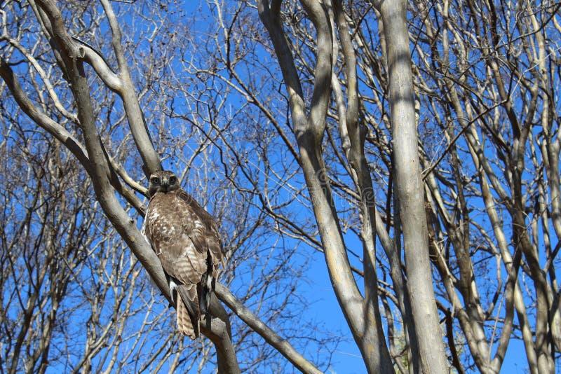 在树的鹰 免版税库存照片