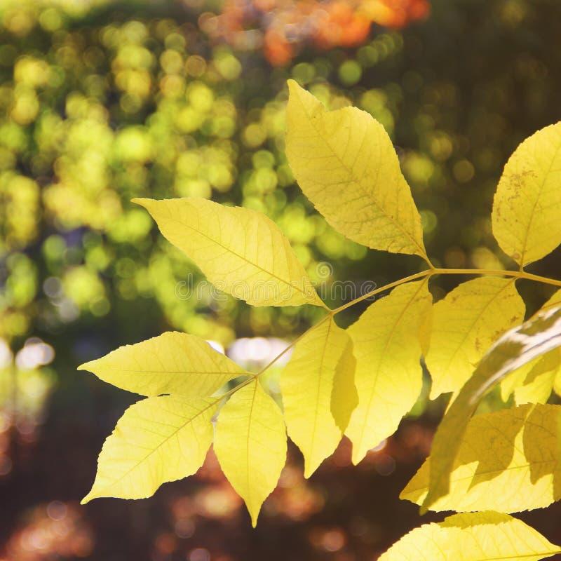 在树的黄色叶子 美好的秋天 免版税库存照片