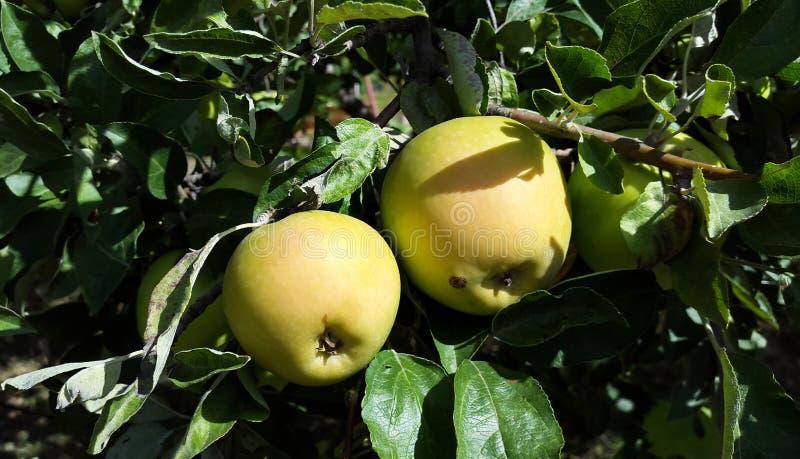 在树的黄色和绿色苹果在庭院里 免版税图库摄影