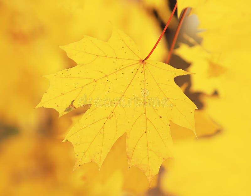 在树的黄色mapple叶子 免版税图库摄影