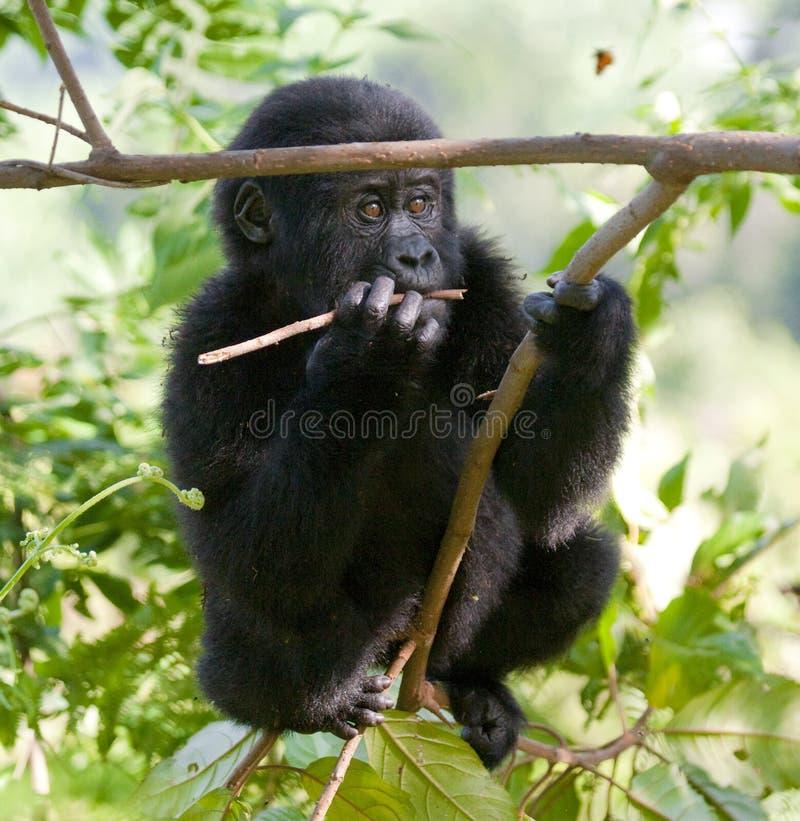 在树的婴孩山地大猩猩 乌干达 Bwindi难贯穿的森林国家公园 免版税库存图片