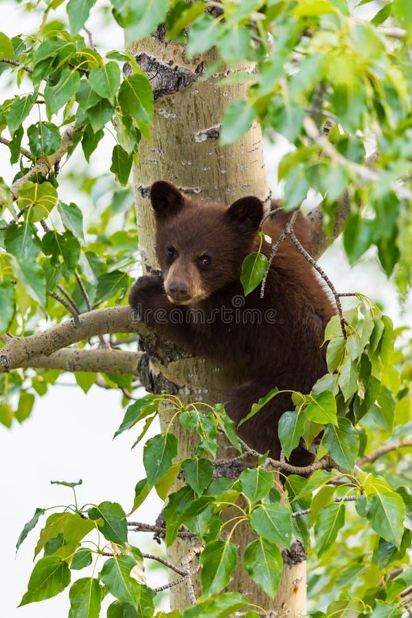在树的黑熊家庭 免版税库存照片