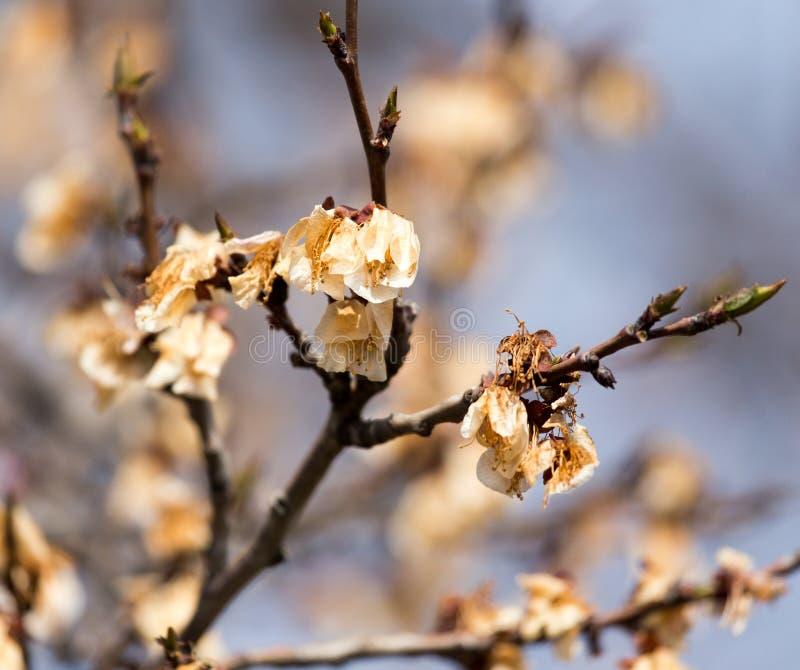 在树的死的花在霜以后的春天 免版税库存图片