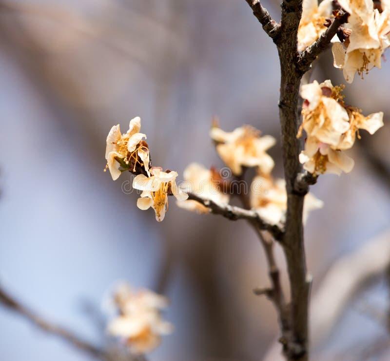 在树的死的花在霜以后的春天 库存图片
