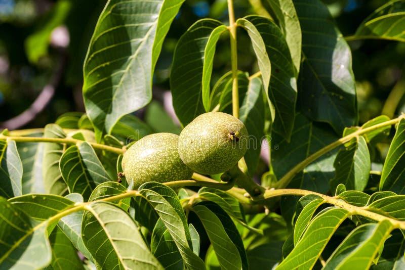 在树的绿色坚果 库存图片