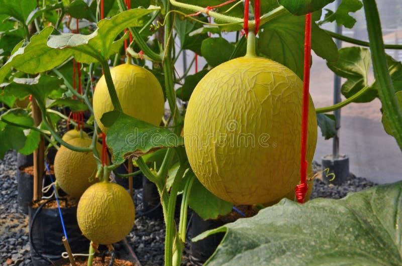 在树的黄色成熟瓜果子 库存图片