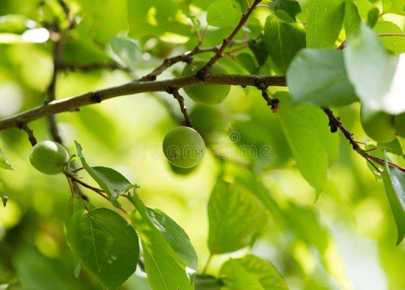 在树的绿色杏子 库存照片
