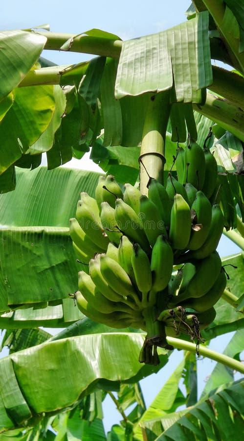 在树的绿色香蕉束在热带庭院里 库存图片