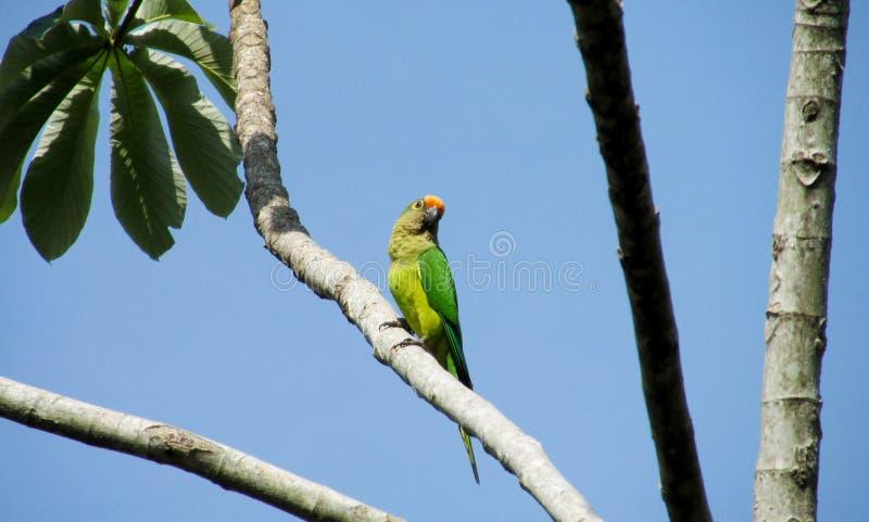在树的绿色鹦鹉 免版税库存图片