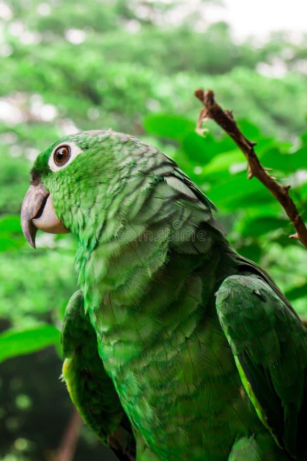 在树的绿色鹦鹉 库存照片