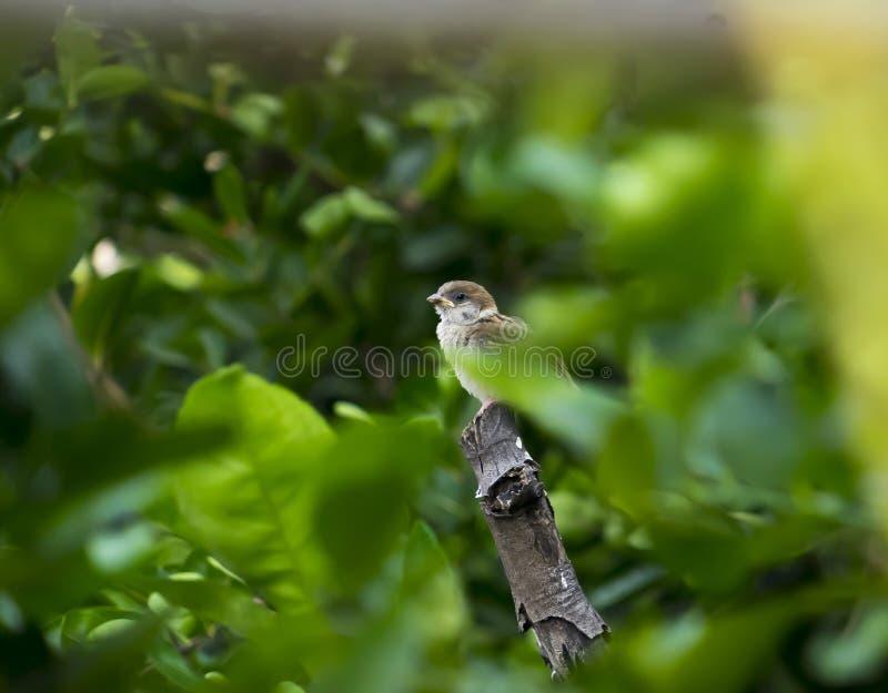 在树的麻雀 图库摄影