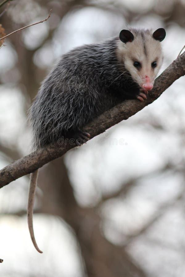 在树的负鼠 库存照片