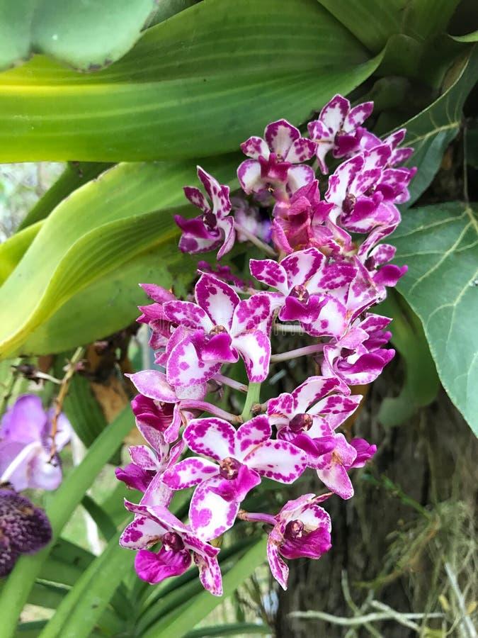 在树的Beautyful紫色兰花花 免版税库存照片