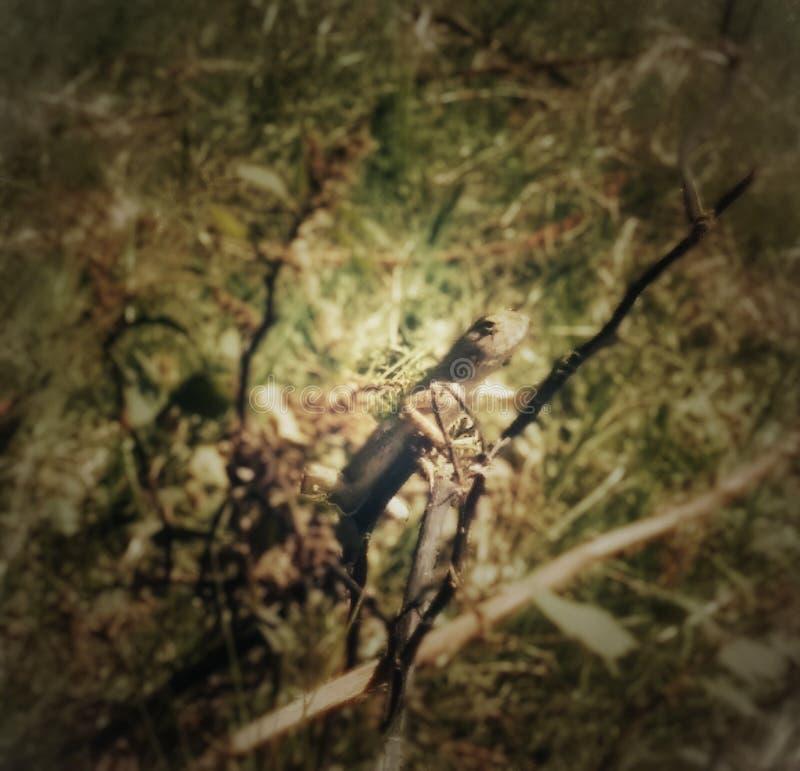 在树的Chamellion 库存图片