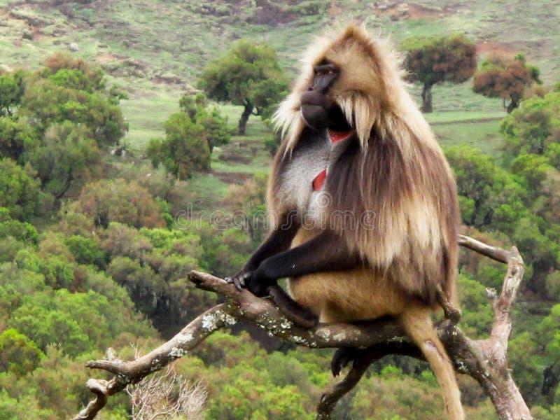 在树的Gelada狒狒 免版税库存图片