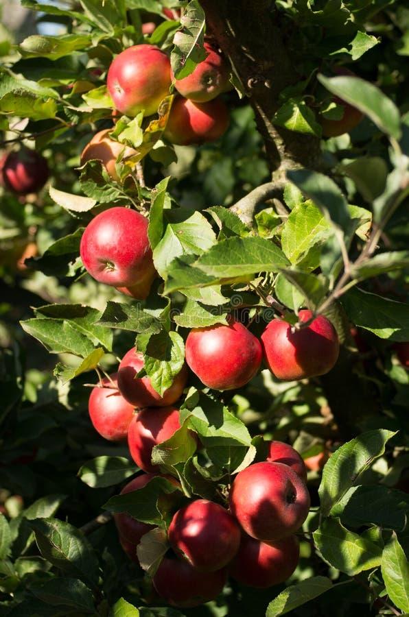 在树的Idared苹果 库存照片