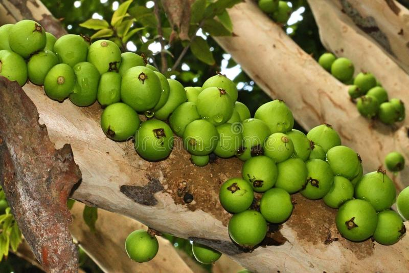 在树的Jaboticaba 图库摄影