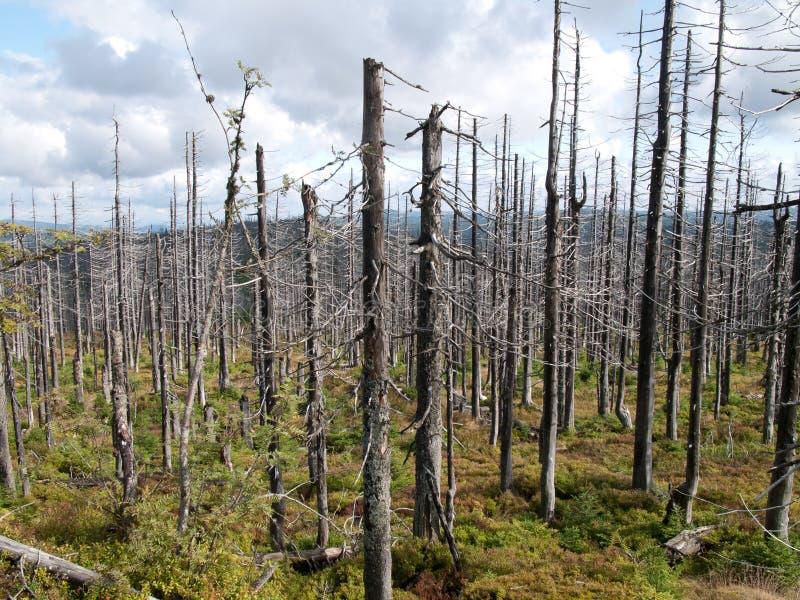 在树皮甲虫atack以后的死的树 免版税库存图片