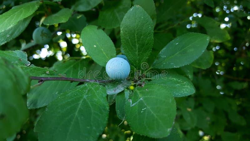 在树篱的果子 免版税库存图片