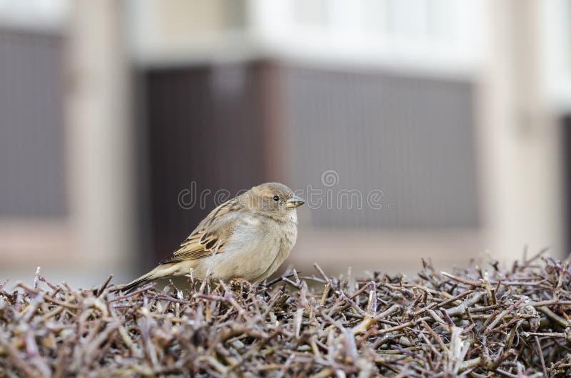 在树篱的欧亚树麻雀 免版税库存图片