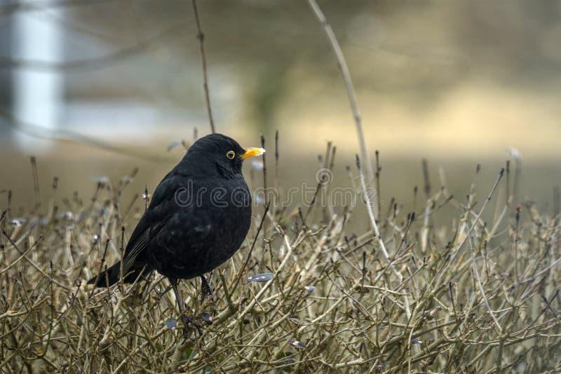 在树篱的黑鹂在冬天 库存图片