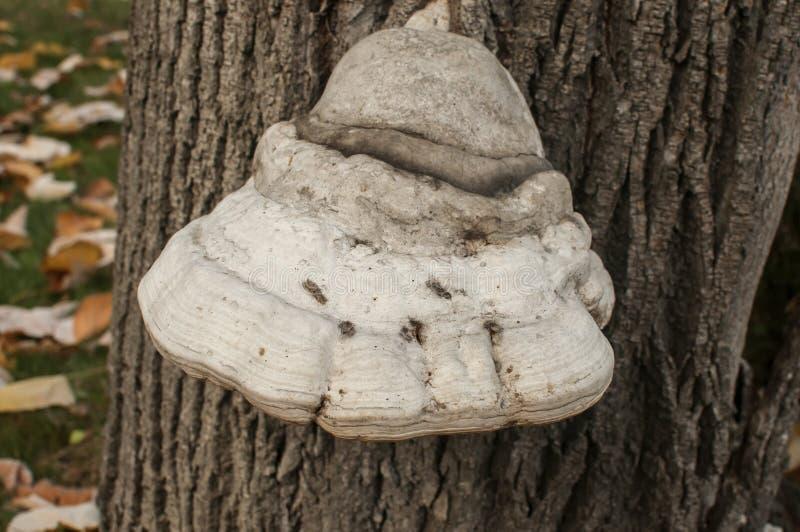 在树词根的火种真菌 免版税图库摄影