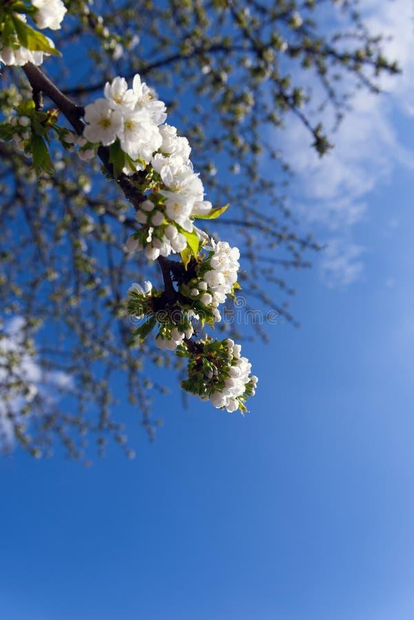 在树选择聚焦的开花的白花 免版税库存照片