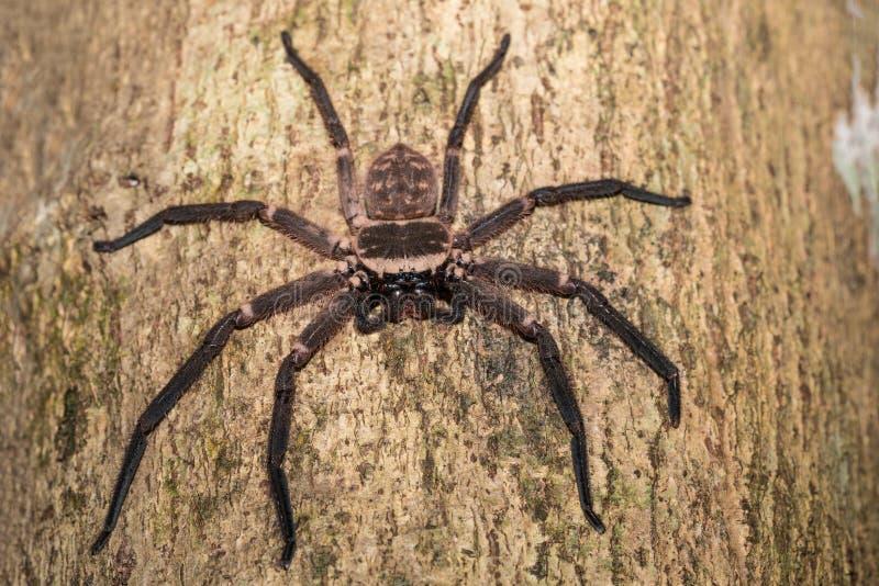 在树马达加斯加的大猎人蜘蛛 库存图片