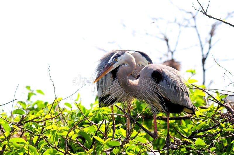 在树,佛罗里达的伟大蓝色的苍鹭的巢 库存图片