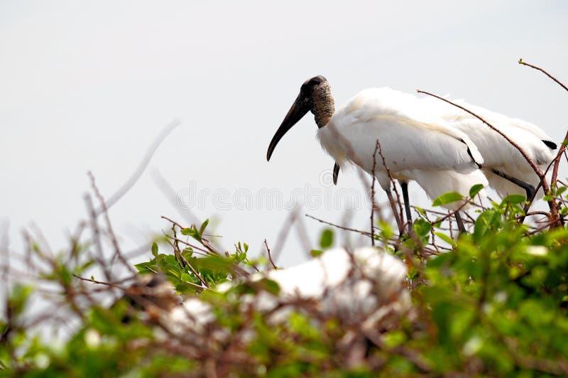 在树,佛罗里达顶部的白色木鹳 免版税库存图片