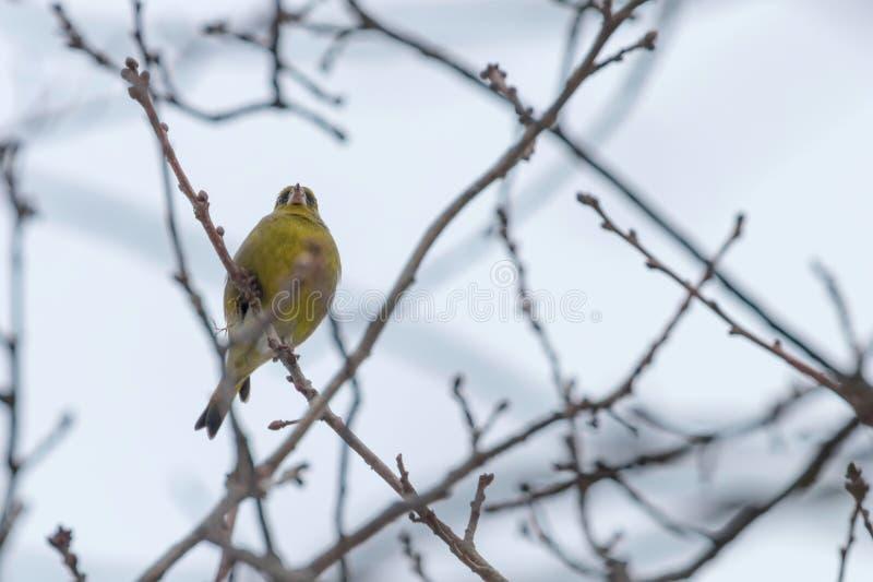 在树,冬时欧洲greenfinch的Greenfinch男性虎尾草属虎尾草属 库存图片
