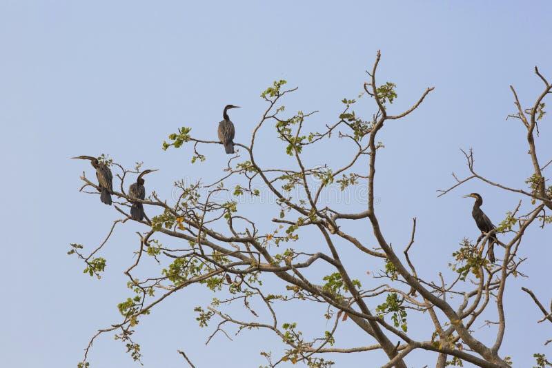 在树,博茨瓦纳的奥卡万戈三角洲的洪泛区的鸟 免版税库存图片
