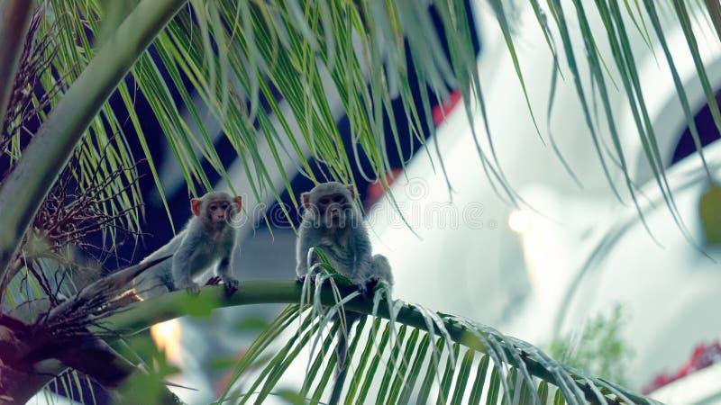 在树,岘港市,越南的短尾猿猴子 免版税库存图片