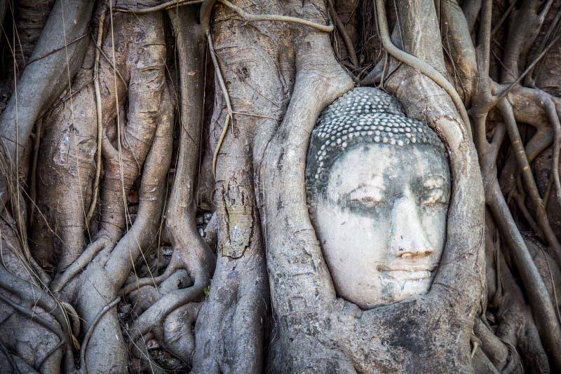 在树,阿尤特拉利夫雷斯,泰国的菩萨头 免版税图库摄影