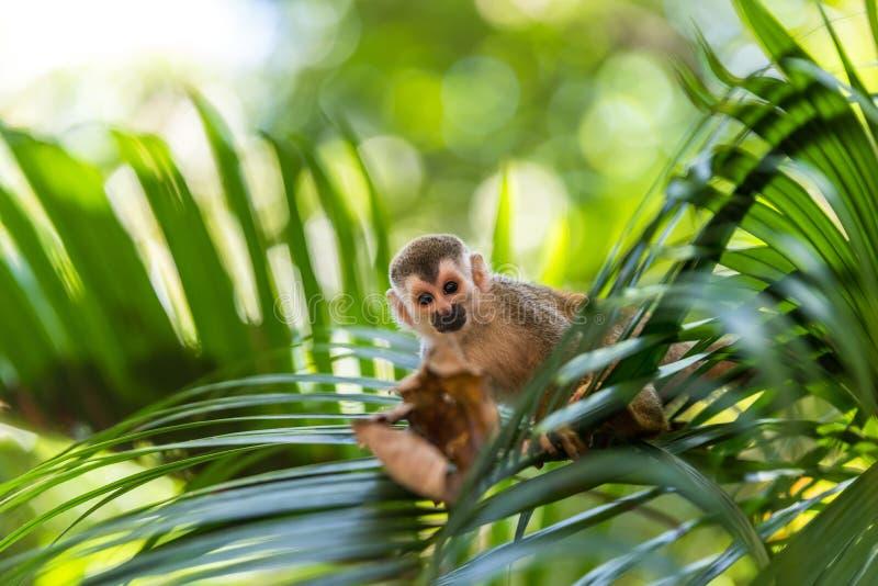 在树-动物分支的松鼠猴子在原野 库存图片
