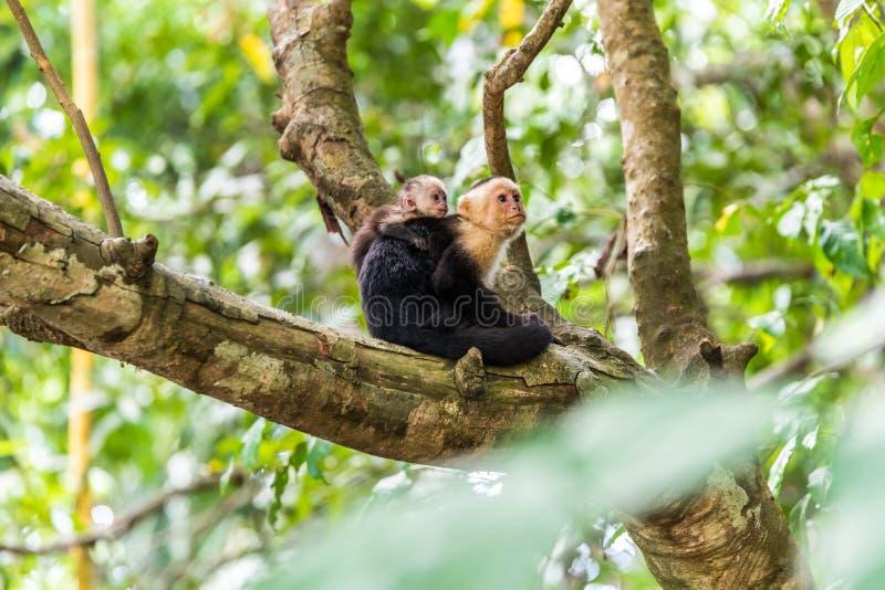 在树-动物分支的连斗帽女大衣猴子在原野 库存照片