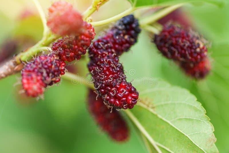 在树/成熟红色桑树果子的新鲜的桑树在分支和绿色叶子在庭院里 图库摄影