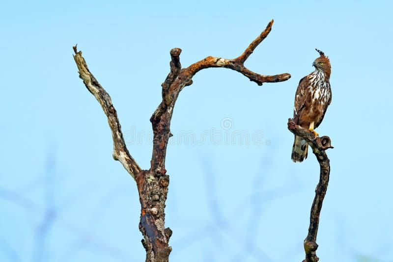 在树brach的老鹰bir 多变的鹰老鹰, Nisaetus cirrhatus,关闭,鸷在Wilpattu natio的分支栖息 免版税图库摄影