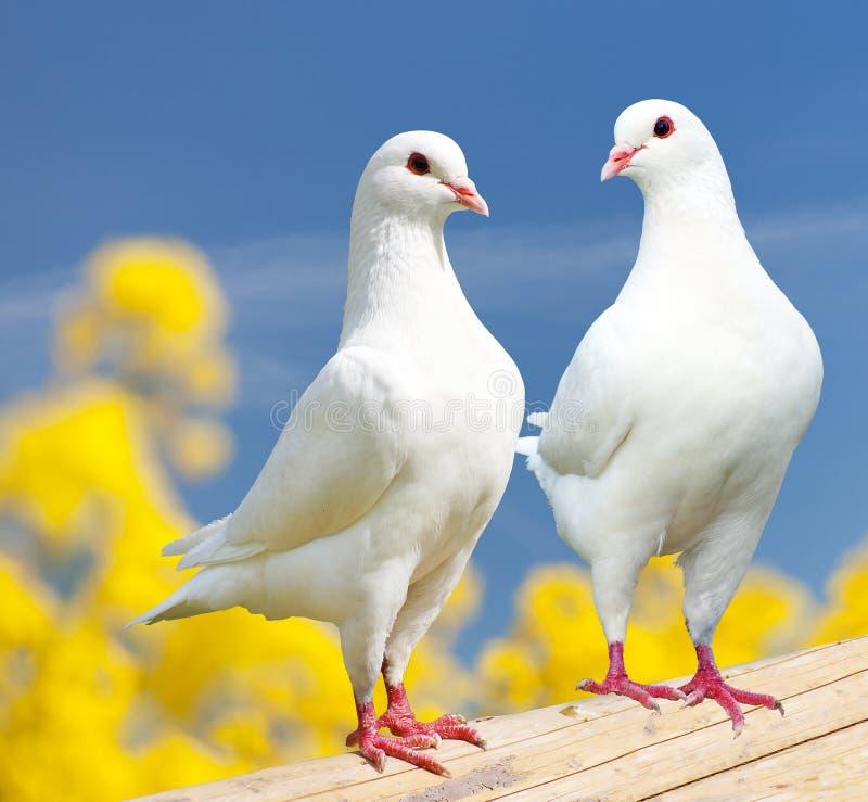 在栖息处的两只白色鸽子有黄色开花的背景 免版税库存照片
