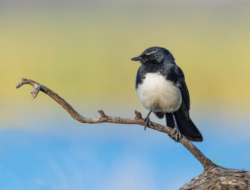 在栖息处的威利令科之鸟 库存照片