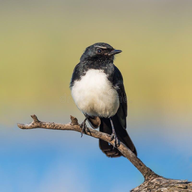 在栖息处的威利令科之鸟 免版税库存图片