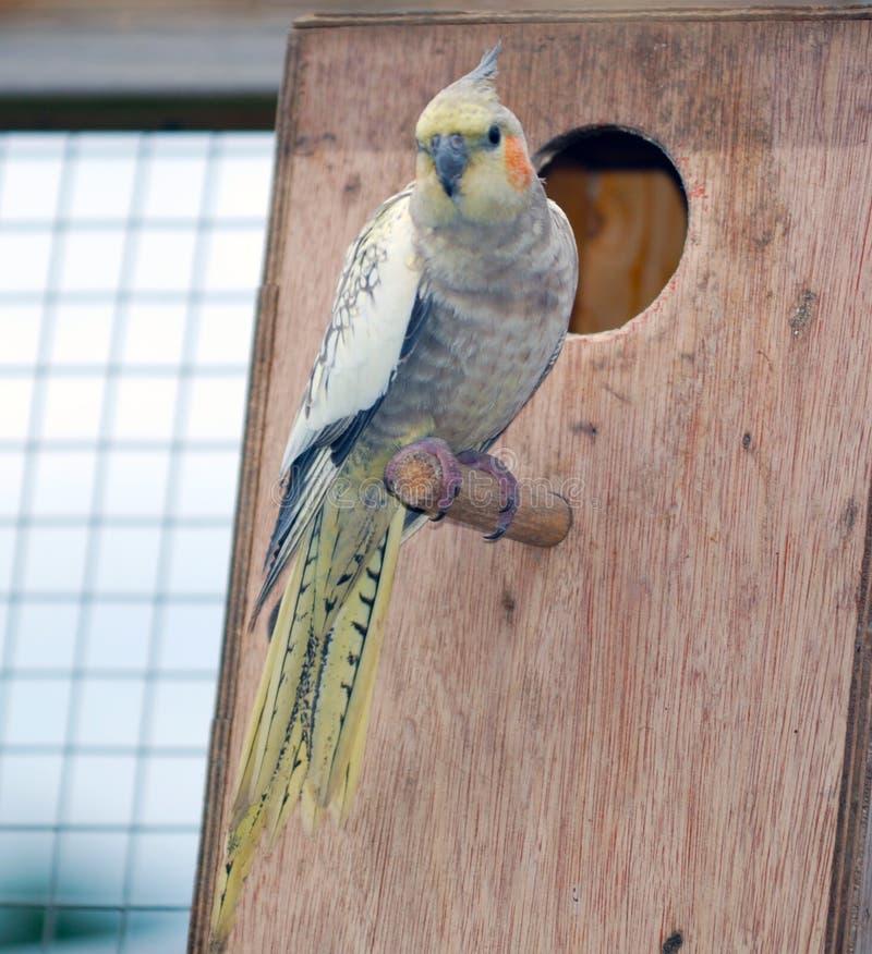 在栖息处的小形鹦鹉鸟 库存图片