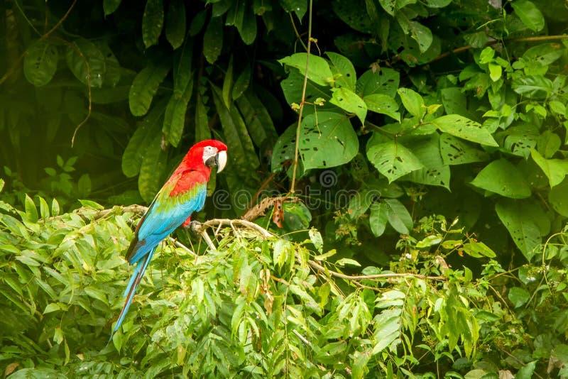 在栖息的红色鹦鹉在分支,绿色植被在背景中 红色和绿色金刚鹦鹉在热带森林,秘鲁,野生生物场面里 库存照片