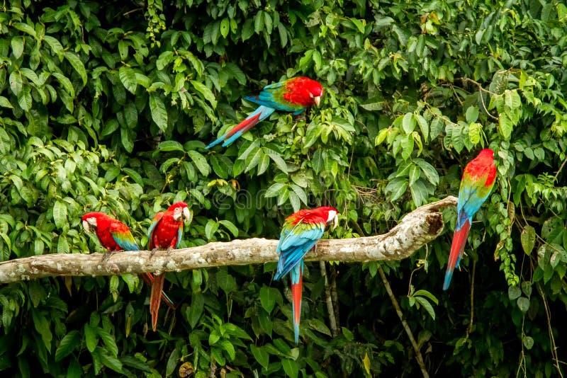 在栖息的红色鹦鹉在分支,绿色植被在背景中 红色和绿色金刚鹦鹉在热带森林,秘鲁,野生生物场面里 免版税库存照片