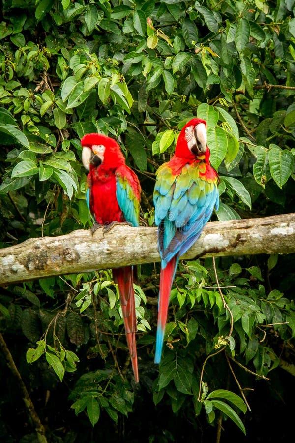 在栖息的红色鹦鹉在分支,绿色植被在背景中 红色和绿色金刚鹦鹉在热带森林,秘鲁,野生生物场面里 免版税库存图片