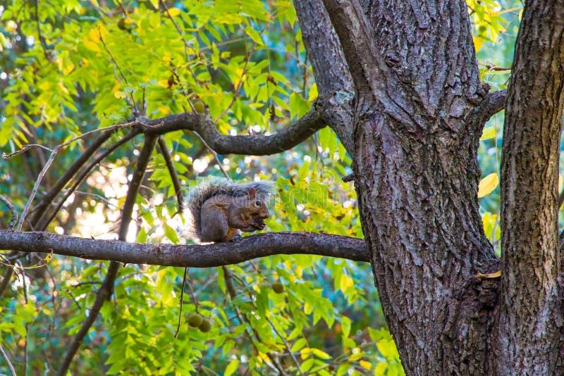 在核桃树的小的灰鼠在秋天公园 免版税库存图片