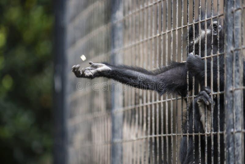 在格栅里面的一只猴子在动物园里 免版税库存图片