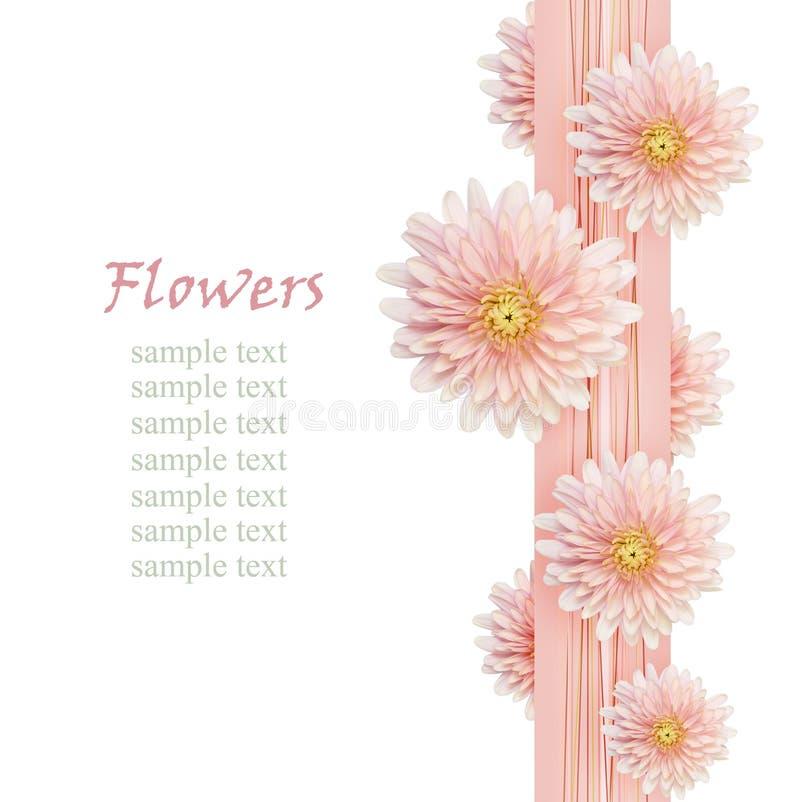 Download 在桃红色丝带的翠菊花 库存图片. 图片 包括有 复制, 编排者, bossies, 边缘, 新鲜, 装饰 - 72362313