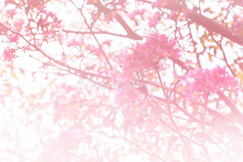 在桃红色口气的软的Tabebuia 库存照片