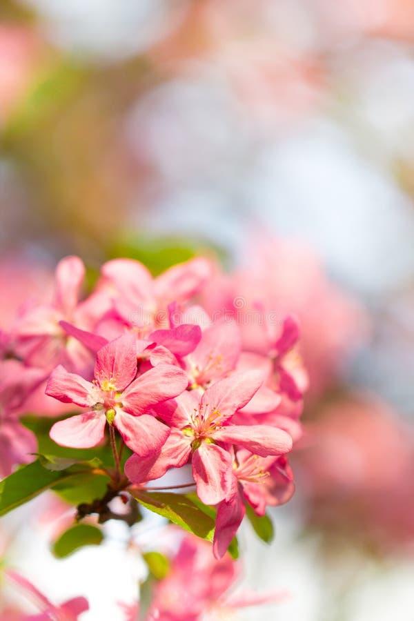 在桃红色和红色樱桃树花的开花 免版税库存照片